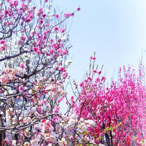 桃の花/時期は桜と同じ/花言葉とかひな祭りとの関わり/大阪城公園