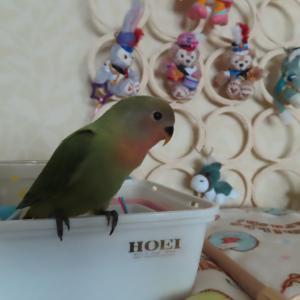 ナナの新鳥教育