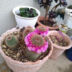 【お花】サボテンにティアラ