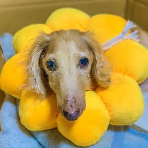 犬が自壊した乳腺腫瘍を舐めないように、エリザベスカラーを購入しました