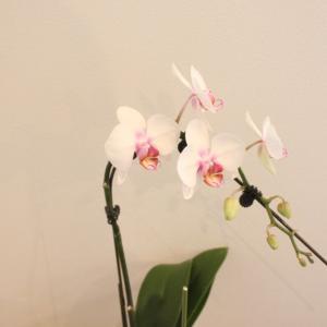 胡蝶蘭を育てて咲かせよう。初心者おすすめ〜自宅用の洋蘭栽培セット