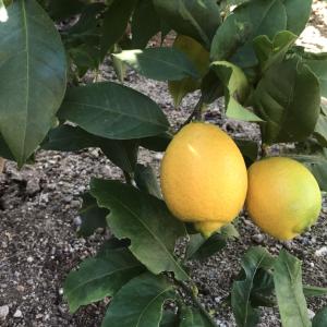 「レモンの木」成長日記 植え付け〜収穫までの記録【収穫した檸檬の楽しみ方】