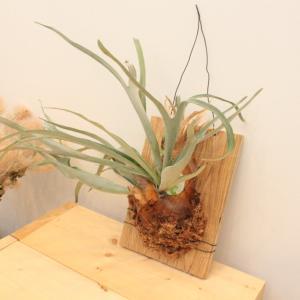 【ビカクシダ】コウモリランビーチーの板付け方法・苔玉の作り方【ヴィーチー】