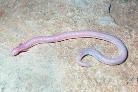 Twitterで話題の「蛇足」な生き物「アホロテトガゲ」