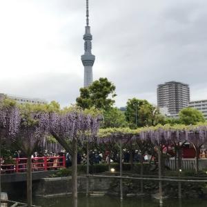 亀戸天神の藤 Wistaria at Kameido Tenjin