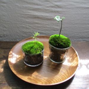 苔テラリウムや苔玉に!蒔き苔で苔を育てる