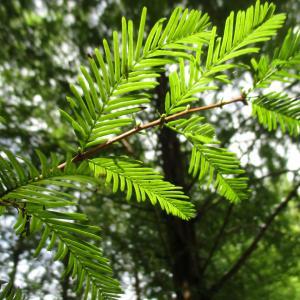 種から育てるミニ盆栽~メタセコイヤ