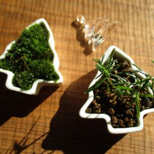 種から育てるミニ盆栽~スギ