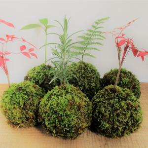 夏休みの自由研究にも。100均の水苔でかんたん苔玉の作り方