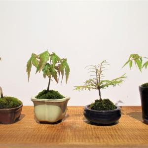 苗を盆栽鉢に植えてみよう