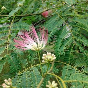 種から育てるミニ盆栽~ネムノキ