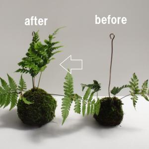 苔玉を植え替えよう