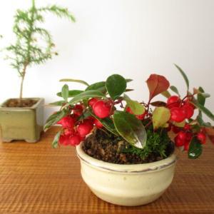 冬を楽しもう!赤い実の木いろいろ