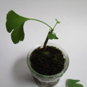 種から育てるミニ盆栽~イチョウ