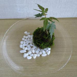 種から育てるミニ盆栽~モミジ