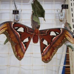 与那国島旅行記【12】アヤミハビル館で日本最大の蛾、ヨナグニサンを見た