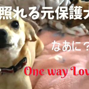 【動画】元保護犬の片思い|チャーリーがママと一緒に寝ていたのを発見!|ベットに入るはなちゃんが、可愛すぎる♥