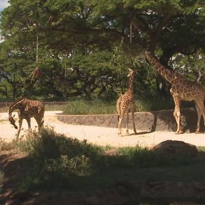 2頭のキリンがホノルル動物園に仲間入り