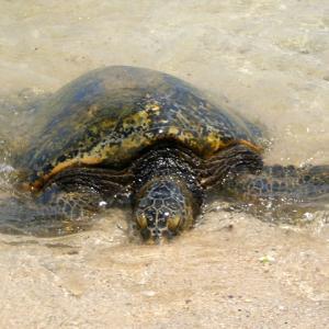 ホヌビーチでコロナ感染リスクを懸念