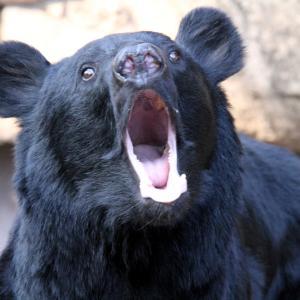 くま!クマ!熊! 熊出没、危険!【重傷者多数】