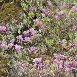 渓谷の蝶と霞桜
