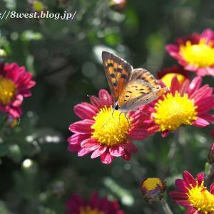 菊にウラナミシジミ