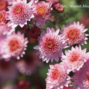菊にキタテハ 2
