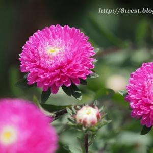 キバナコスモス開花