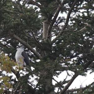 鳥撮り】今日のオオタカさん
