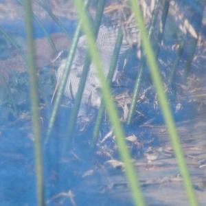鳥撮】オオタカさんの狩りっ