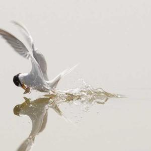 鳥撮】お池で~コアジサシ、ヨシゴイ、オオヨシキリ