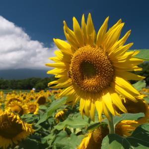 山中湖 花の都公園に富士山とひまわりの写真を撮りに行ってきました(撮れたとは言ってない