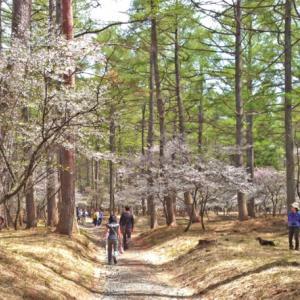 今日、15日から富士吉田でふじざくら祭りが始まります