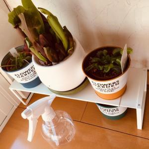 食虫植物をいくつか購入しました!
