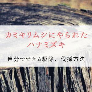 カミキリムシにやられたハナミズキ|自分でできる駆除、伐採方法について