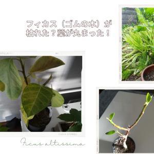 フィカスアルテシマ(ゴムの木)が枯れた?葉が丸まった!枯れた観葉植物は再生できるのか