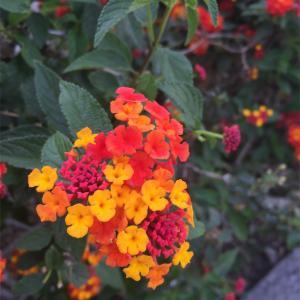 ランタナ-メキシコで見つけた可愛らしい花