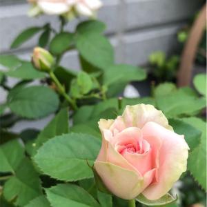 【庭】とりあえずミニバラと最近なんか大変