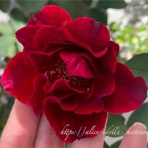 【庭】バラ新苗、その後④