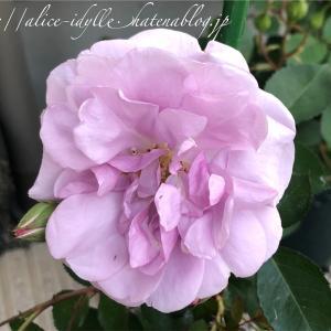 【庭】我が庭もバラの宴がそろそろ始まりそう。