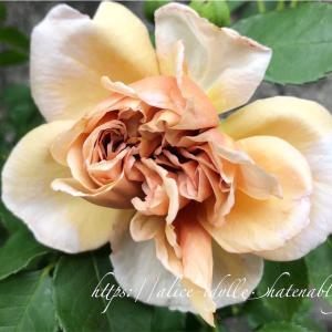 【庭】今日もバラ