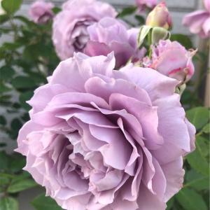 【庭】そろそろ一番花終わりかな