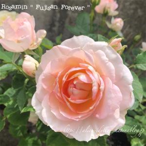 【庭】庭の片っ端から咲いてるミニバラの写真撮ってみた!その③