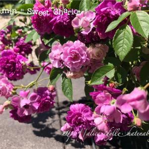 【庭】庭の片っ端から咲いてるミニバラの写真撮ってみた!その④