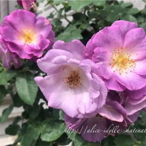 【庭】二番花とレイニーブルーその後