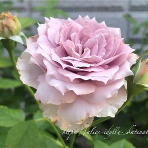 【庭】夏バラと夏バテ