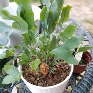 寒いのに観葉植物の植え替え