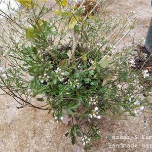 雑草と同居するアラビアンジャスミン
