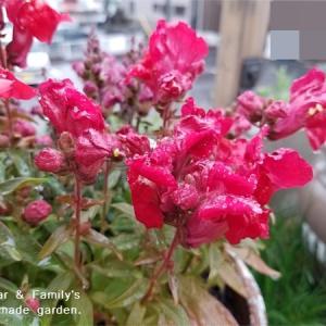 キンギョソウが咲き始めました。