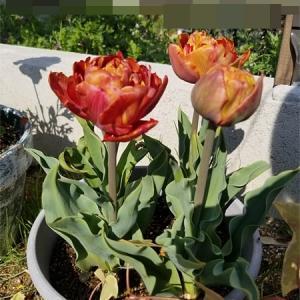 琥珀色のチューリップが開花